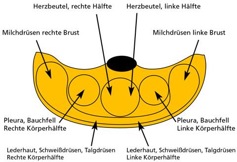herz links oder rechts in der brust